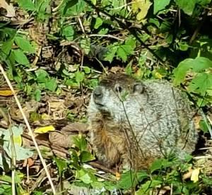 Ballard groundhog